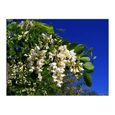 15 Seeds Black Locust Tree Bonsai White, pendulous, Wisteria Like Flowers Standard or Container Gardening Robinia pseudoacacia : Garden & Outdoor