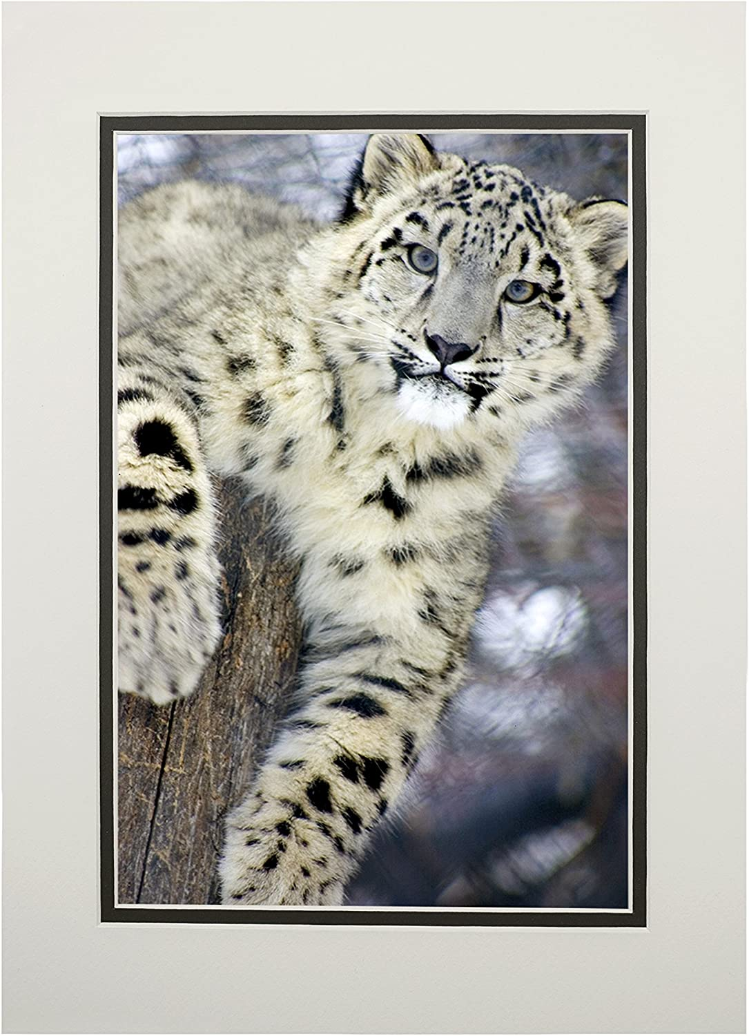 Snow Leopard (11x14 Double-Matted Art Print, Wall Decor Ready to Frame)