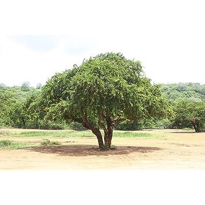 Limonia acidissima WOOD APPLE TREE Seeds! : Garden & Outdoor