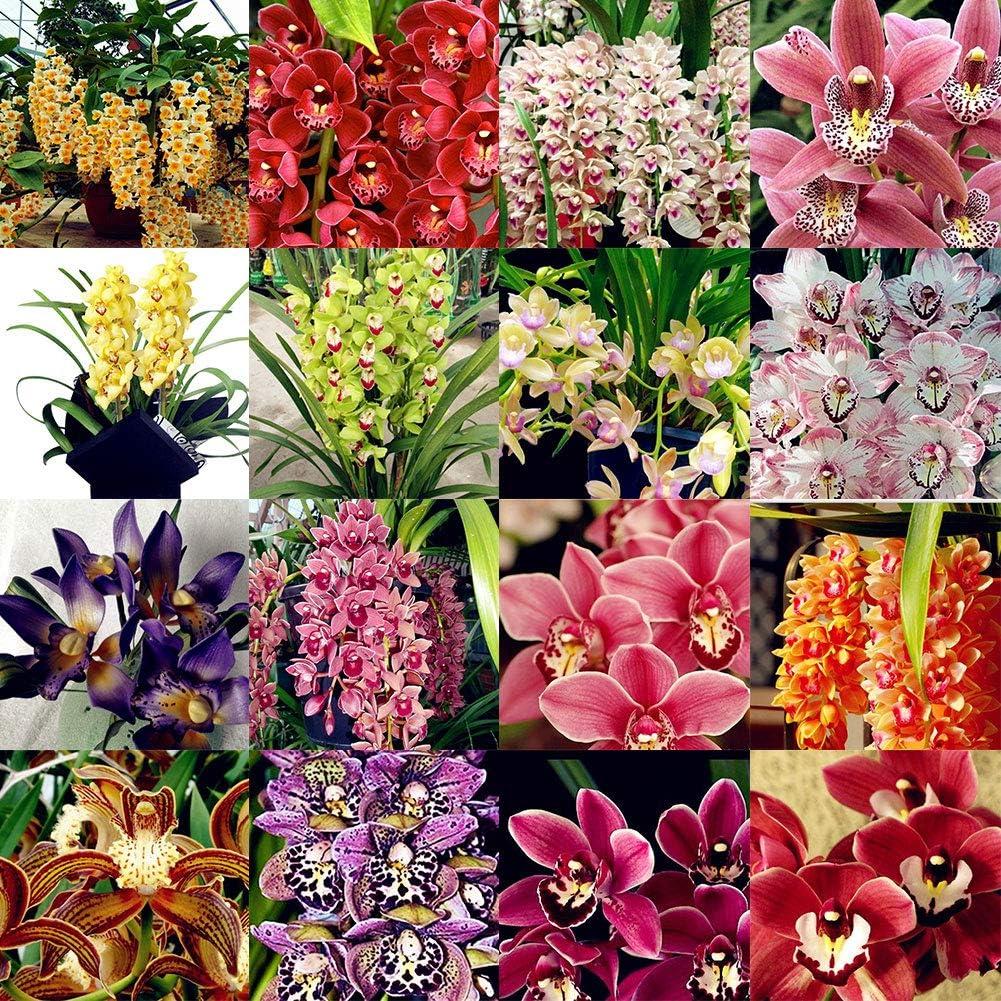 Unique Black Orchid Seeds Plants Cymbidium Faberi Flower Garden 100pcs