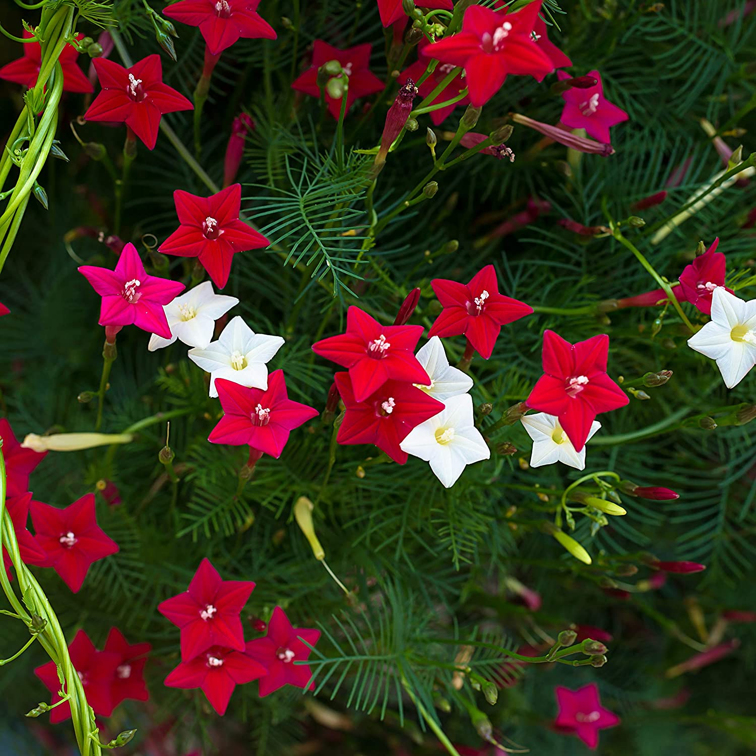Amazon Com Outsidepride Cypress Vine Seed Mix 100 Seeds