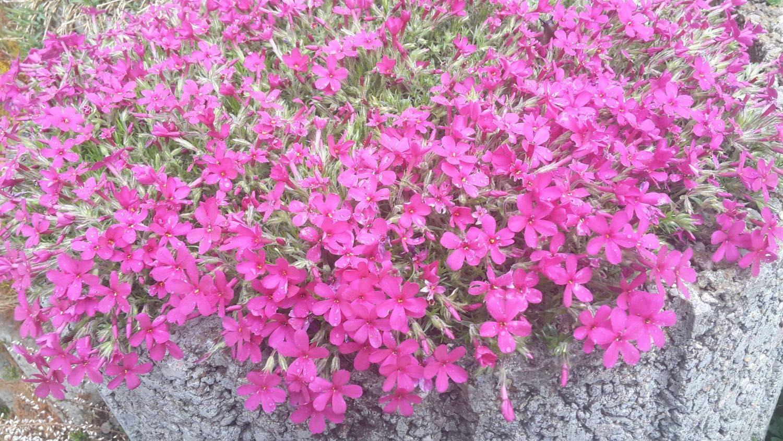Blumensamen Mischung mehrj/ährig winterhart f/ür Garten//Balkon Keland Garten 50pcs Rarit/ät Teppich-Flammenblume Phlox Bl/ütenteppich Feuerwerk Bodendecker