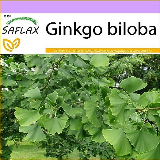 SAFLAX - Árbol de los escudos - 4 semillas - Ginkgo biloba: Amazon.es: Jardín