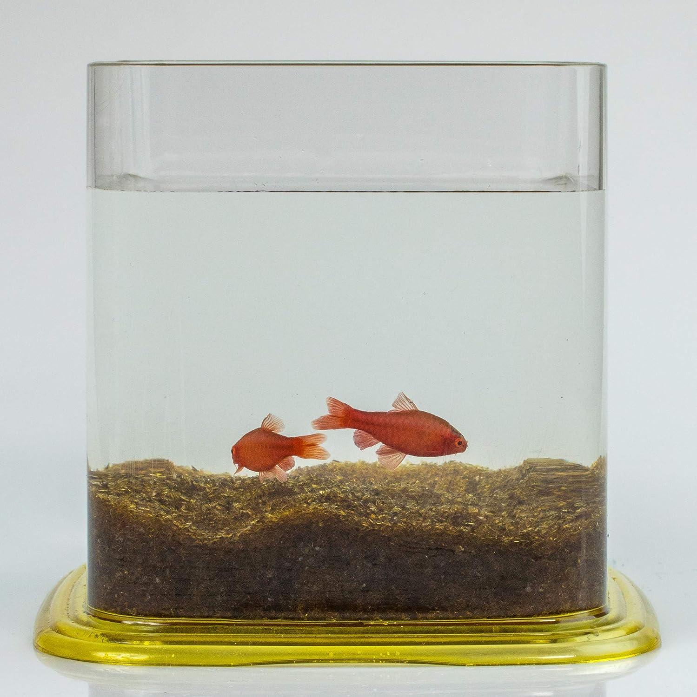 Aquariaglass Arena de Vidrio ámbar para decoración de acuarios 2 kg Cristal: Amazon.es: Productos para mascotas