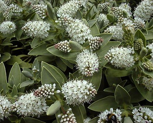 Pianta Sempreverde Con Fiori Bianchi.Confezione Da 3 Piante Di Hebe Albicans Vasi Da 9 Cm Arbusti