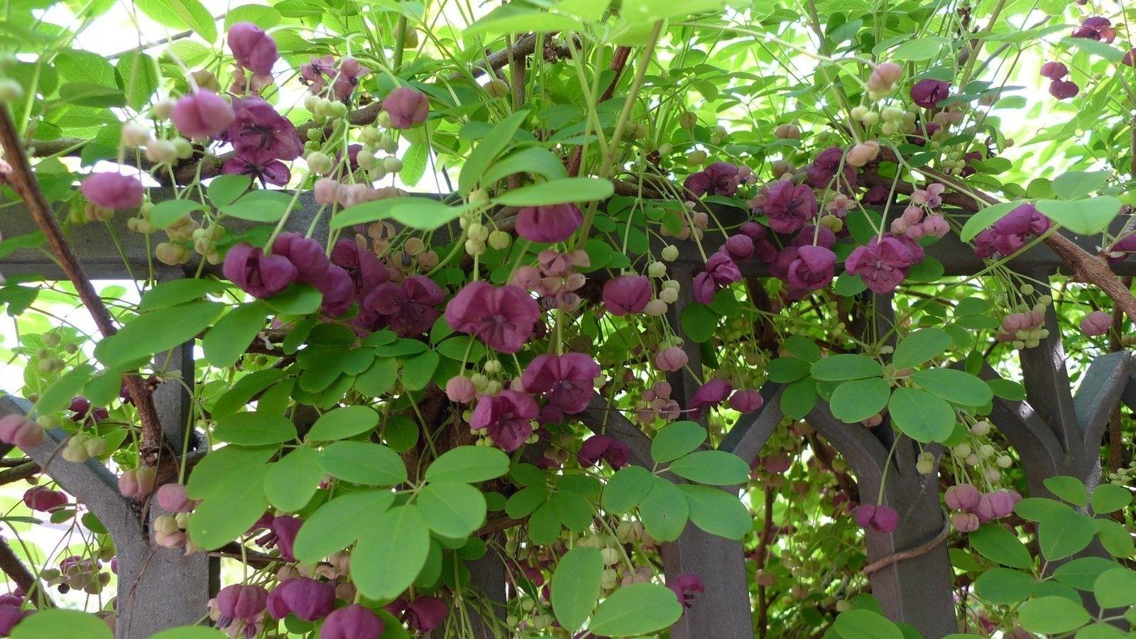 AKEBIA QUINATA - Chocolate Vine - Starter Plant
