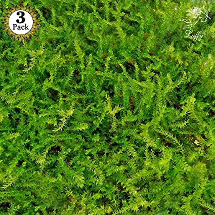 luffy wild christmas moss in loose form by lush green moss for aquarium decor - Christmas Moss