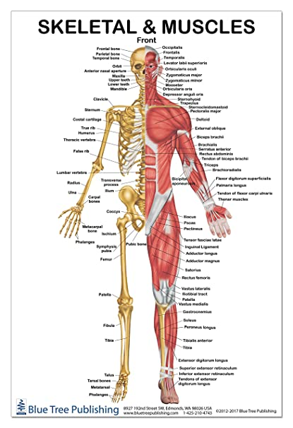 Amazon.com: Skeletal Muscles Front View Poster 12*17i nch, for ...