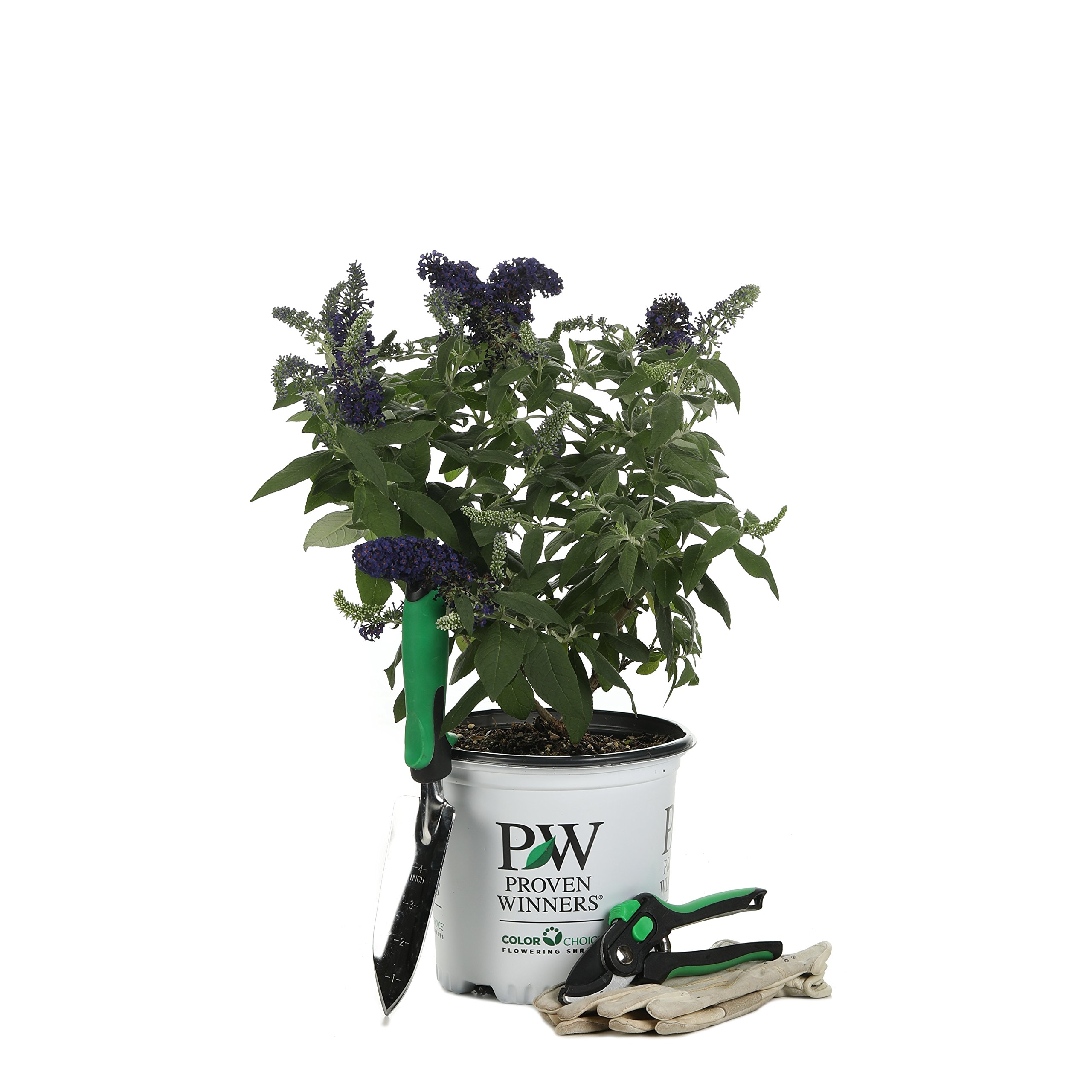 Pugster Blue Butterfly Bush (Buddleia) Live Shrub, Blue Flowers, 1 Gallon by Proven Winners (Image #8)