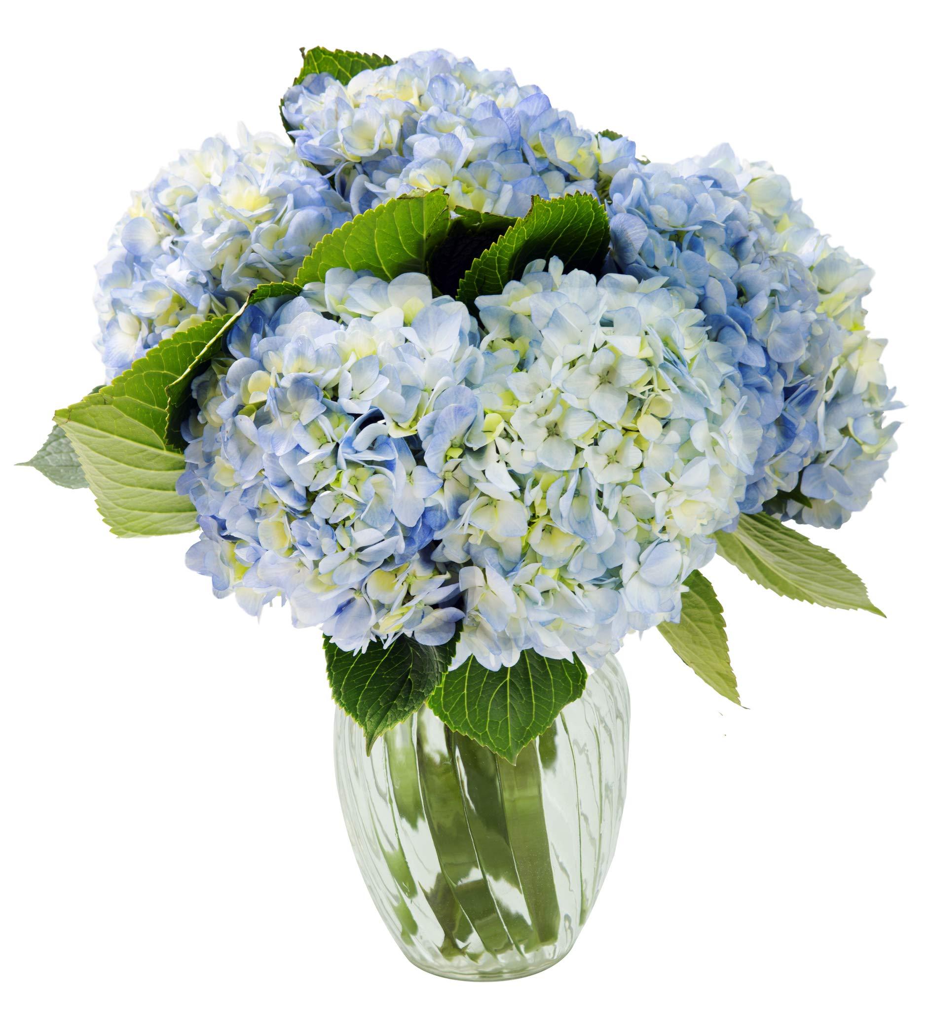 KaBloom Summer Beauty Bouquet of 6 Blue Hydrangeas with Vase