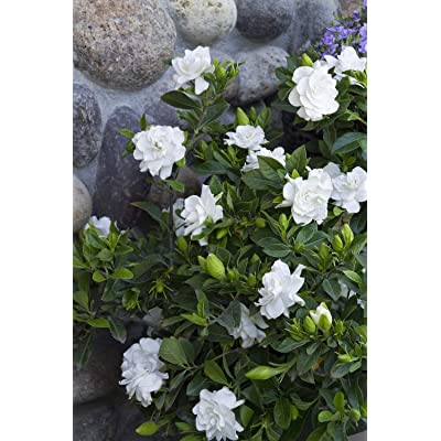 "1 Live Plant 4"" Pot Veitchii Gardenia Flowers Shrubs Outdoor Gardening tkdael : Garden & Outdoor"