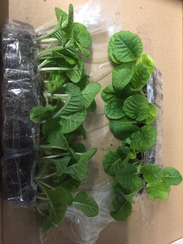Very Healthy BAROCK F1 Mix Mini Primula Plug Plants X 20