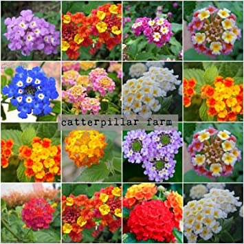 200 Pcs Mixed Lantana Flower Seeds16 Colorsexotic Flowersbest