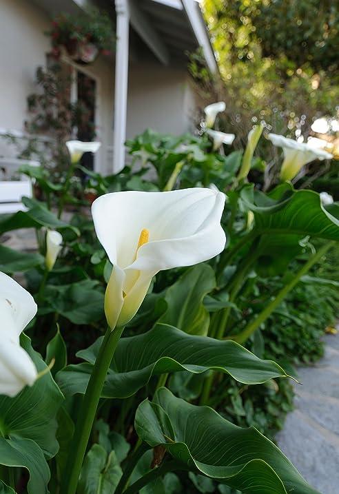 calla lilies aethiopica white giant 3 large bulbs 18 cm bulb