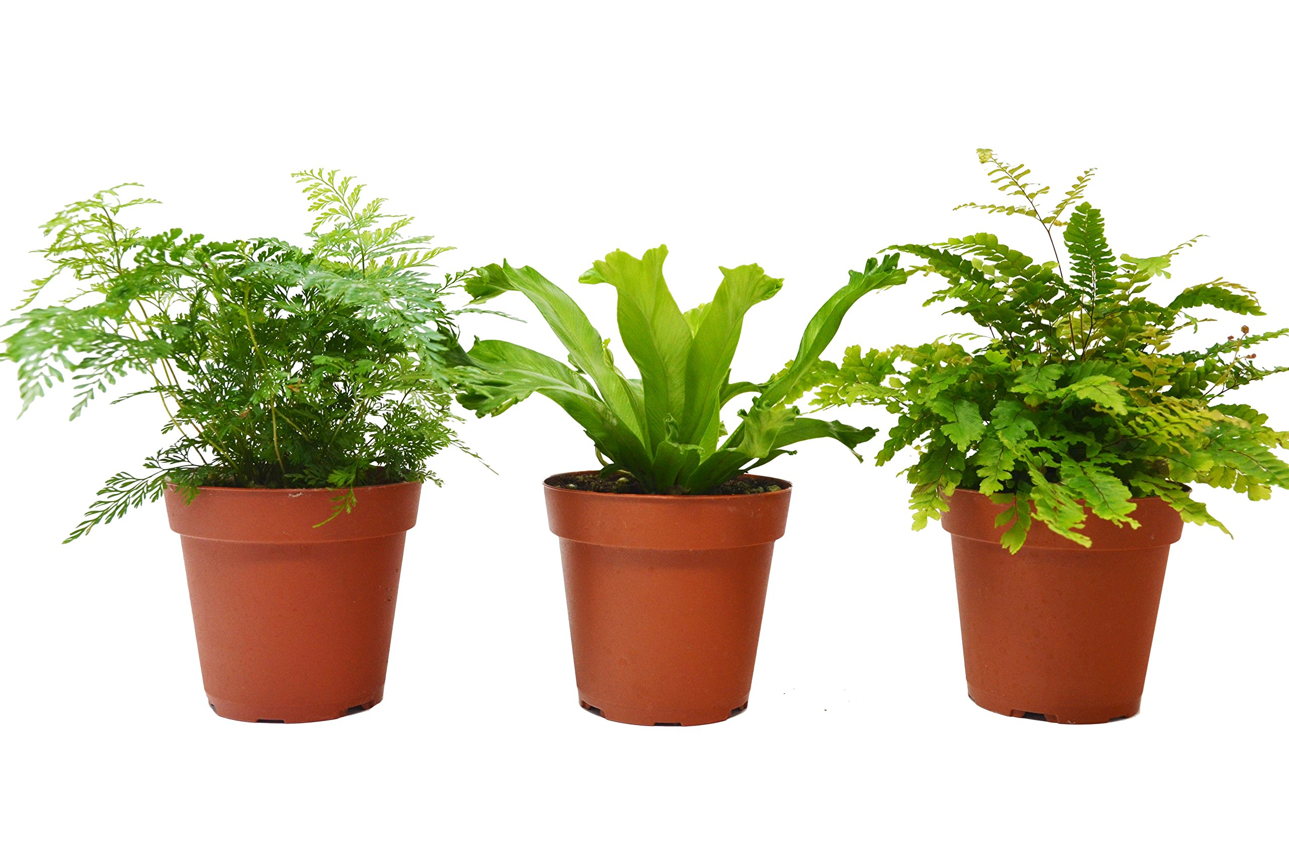 3 Fern Variety Pack - Live Plants - FREE Care Guide - 4'' Pot - Low Light House Plant