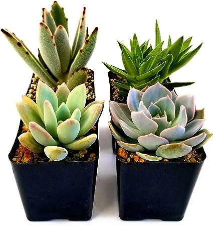 "Echeveria Morning Beauty White Succulent Rare Flower Cactus 2/"" Plant Pink Pot"