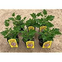 Planta Antimosquitos-Citronella-Pack 6 Plantas - Geranio (Pelargonium Graveolens)-Planta Aromática-Planta Natural- 13 cm…