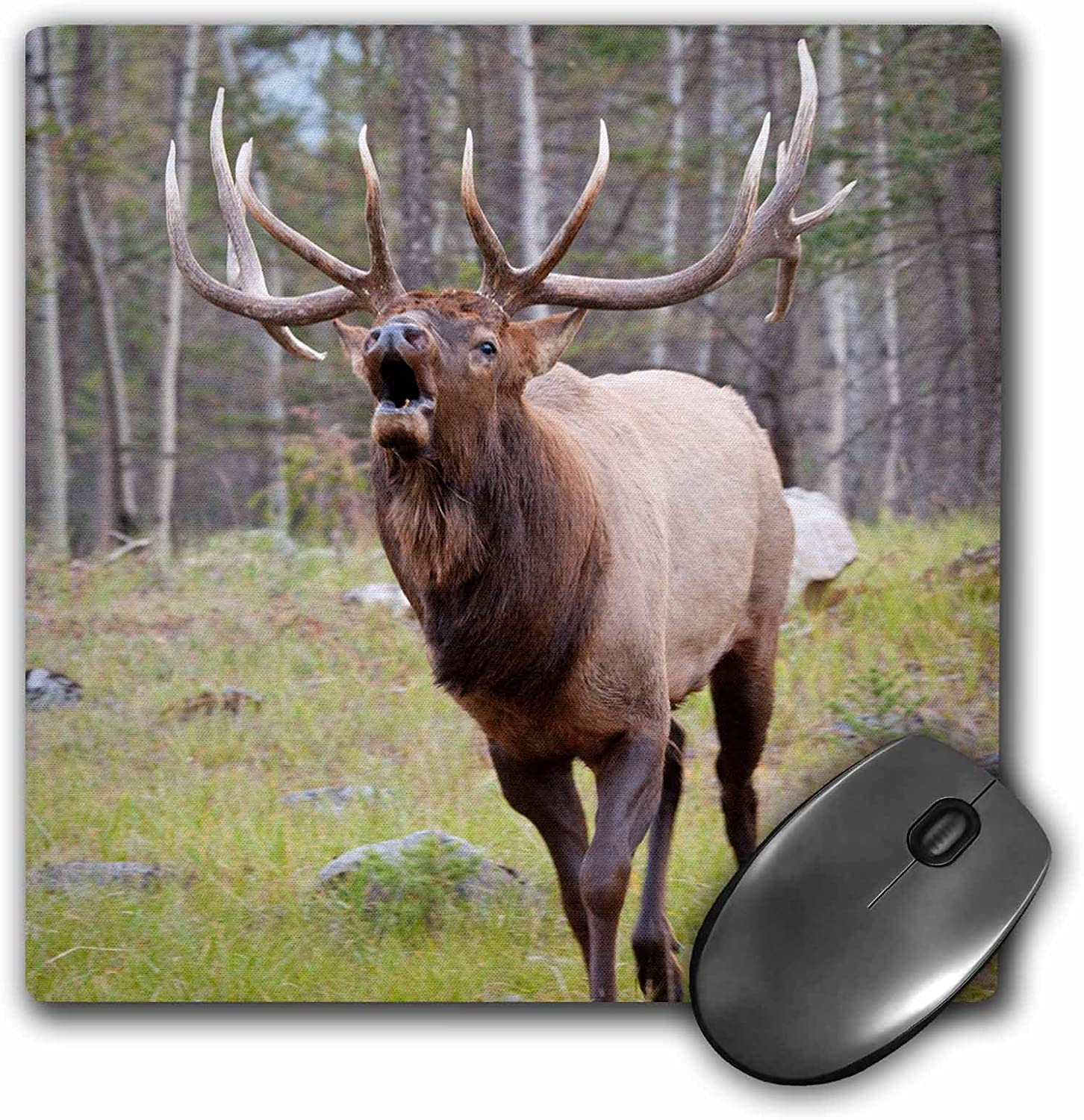 Bull elk bugling Canada Jasper NP 8 by 8 inches mp/_188400/_1 Alberta Mouse Pad