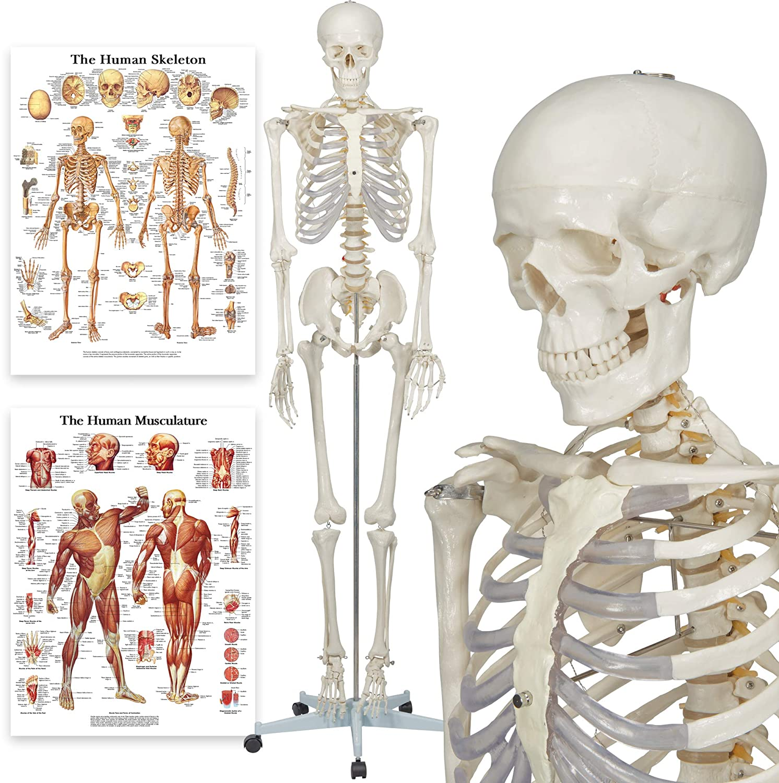 Elementary Anatomy 1021930, Modelo Anatómico de Esqueleto Humano, Incluyendo dos Gráficos (Buddy the Budget Skeleton), 1, 175 cm