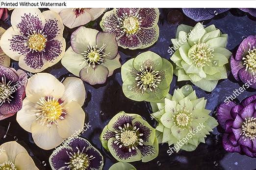 Amazon Com Kwikmedia Ashwoods Hybrid Hellebore Flowers Floating