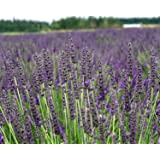 "Findlavender - Lavender GROSSO (Dark Purple Flowers) - 4"" Size Pot - Zones 4 - 11 - Bee Friendly - Attract Butterfly - Evergreen Plant - 4 Live Plants"
