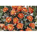 Kletterrose 'Warm Welcome' (R) im 4 L Container