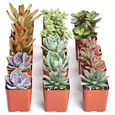Shop Succulents | Assorted Live Plants, Hand Selected Variety Pack of Mini Succulents | Collection of 15 : Garden & Outdoor