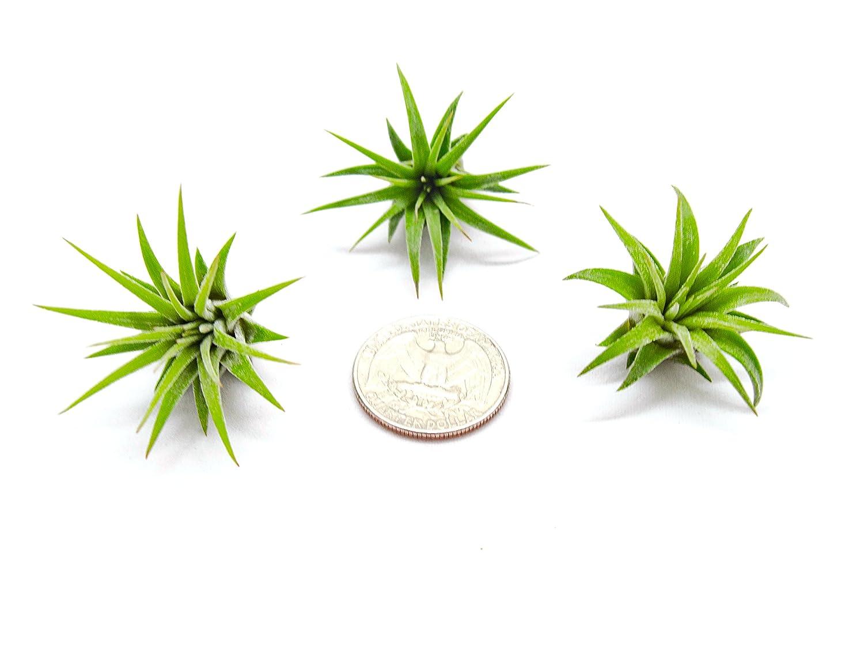 Miniature Fairy Garden Plants - Live Tillandsia Air Plants