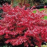 Euonymus alatus Burning bush - 1 arbrisseau