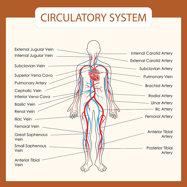 Amazon Human Body Systems Educational Posters Circulatory