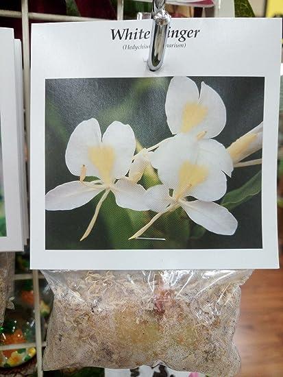 Amazon hawaii hawaiian tropical white ginger plant root hawaii hawaiian tropical white ginger plant root hedychium coronarium mightylinksfo