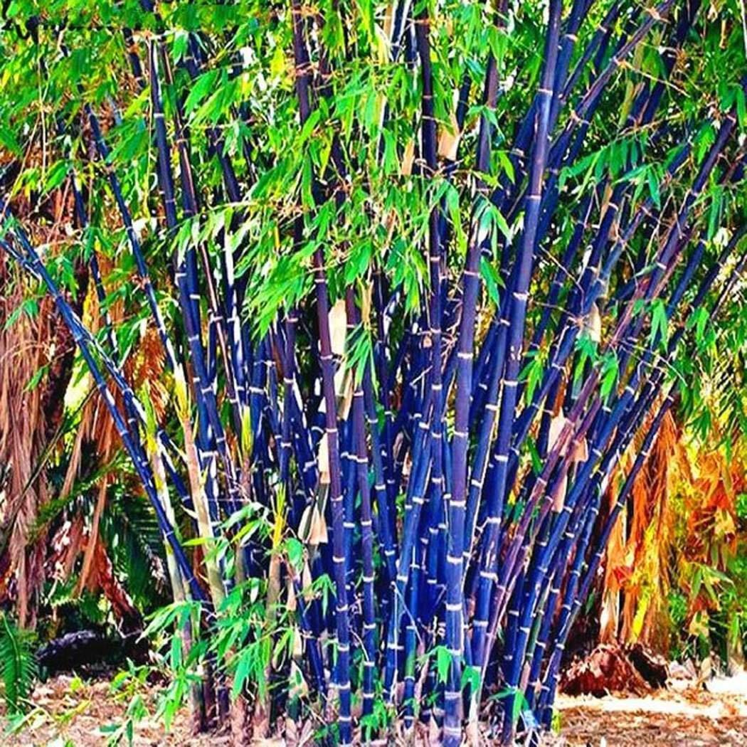 Semillas de bambú resistentes