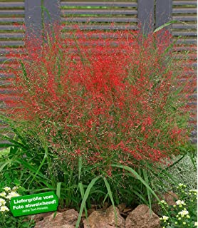 BALDUR-Garten Carex \'Bronze Reflection\' Segge, 3 Pflanzen: Amazon.de ...