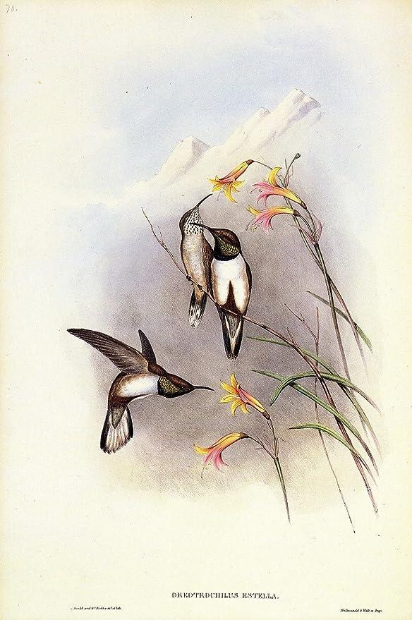 "1990 Vintage HUMMINGBIRD #70 /""ESTELLA/'S HILL STAR/"" GOULD COLOR Art Lithograph"