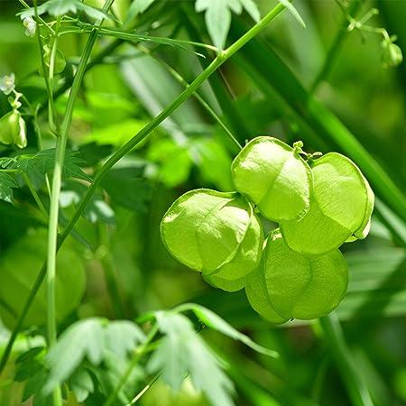 flower seeds 5 pcs Balloon Vine Cardiospermum Halicacabum