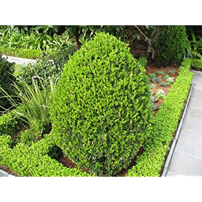 """Wintergreen Boxwood - Established Rooted Evergreen - 12 Plants in 2.5"""" Pots : Garden & Outdoor"""