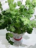 家庭用 ハーブの水耕栽培キット「窓際族」(窓辺でパクチー)