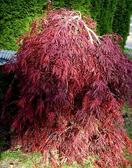 Amazoncom Red Dragon Weeping Japanese Maple 3 Year Live Plant