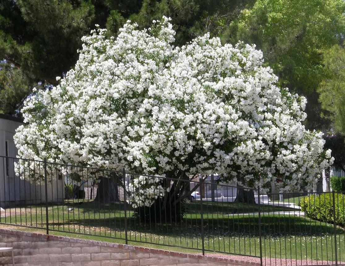 Picture of Live Sister Agnes Oleander aka Nerium o. 'Sister Agnes' multi Plant Fit 1 Gallon Pot