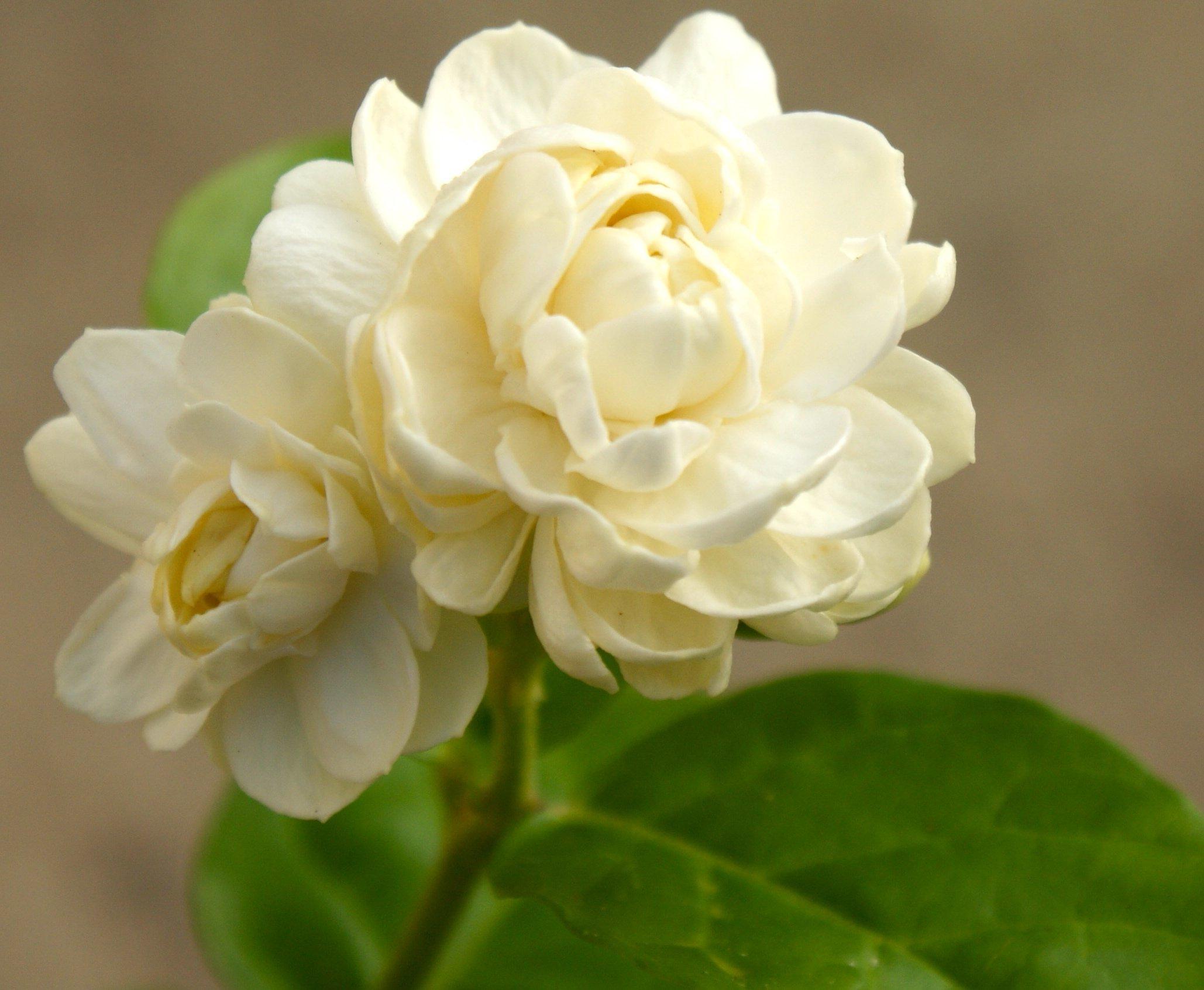 Jasminum Sambac Jasmine 'Grand Duke of Tuscany' ~ Live Plant