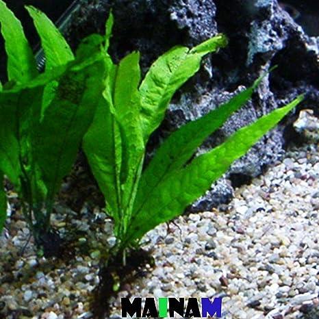 amazon com mainam java fern microsorum pteropus potted freshwater