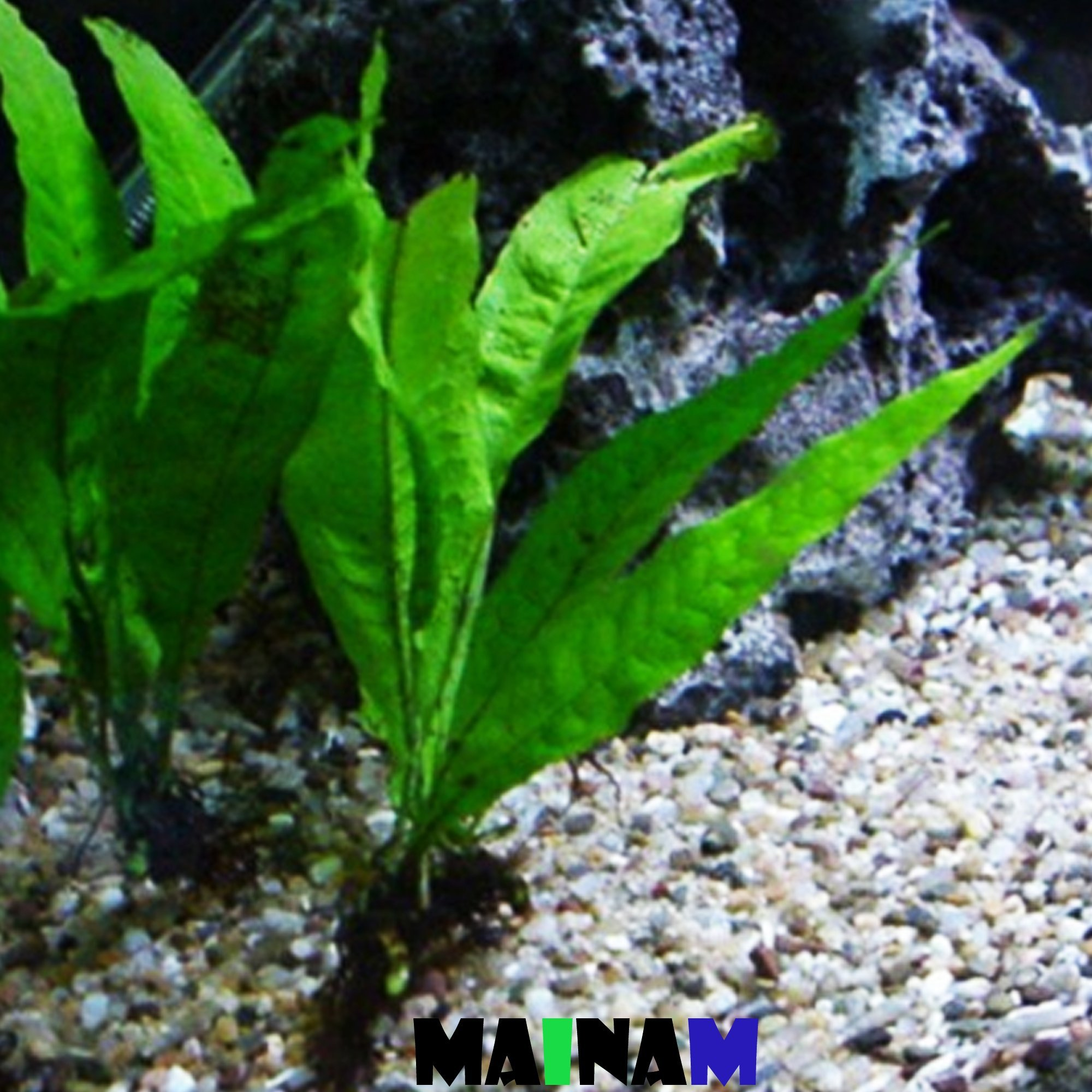 Java Fern Microsorum Pteropus Potted Freshwater Easy Tropical Live Aquarium Plant Decorations 3 DAYS GUARANTEE By Mainam
