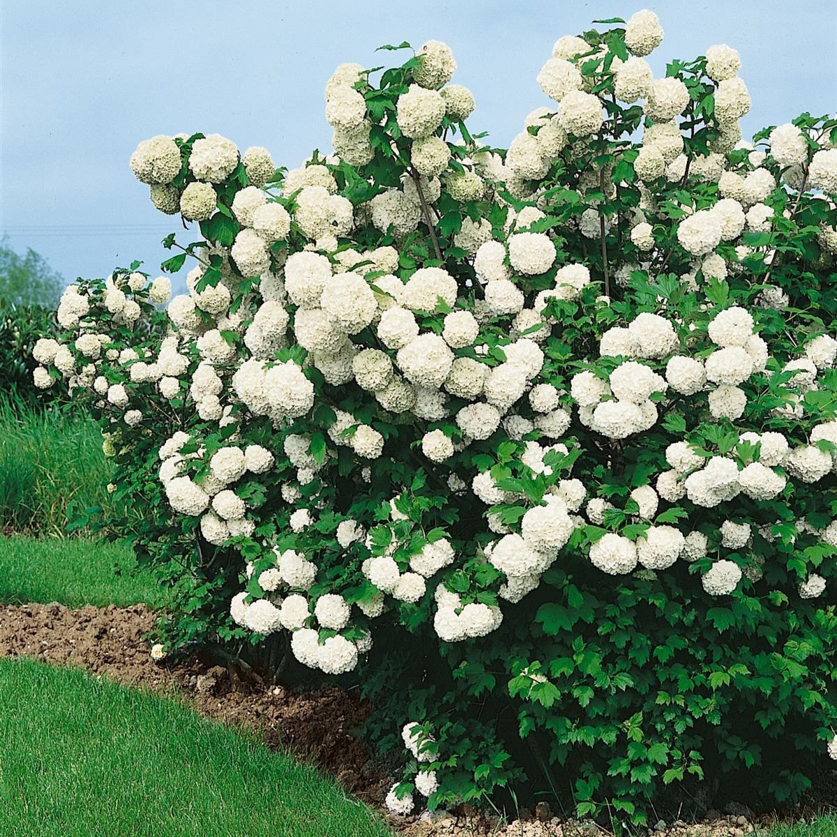 Gefüllter Schneeball weiß blühend 2 Sträucher Amazon Garten
