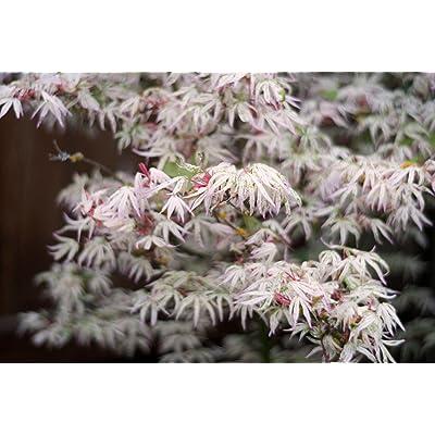 FLOATING CLOUD JAPANESE MAPLE Acer palmatum Ukigumo 3 - YEAR TREE : Garden & Outdoor