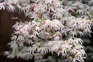 FLOATING CLOUD JAPANESE MAPLE Acer palmatum Ukigumo 3 - YEAR TREE
