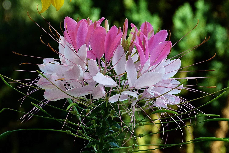 Semillas BloomGreen Co. Flor: Semillas de flores perennes Tarenaya ...