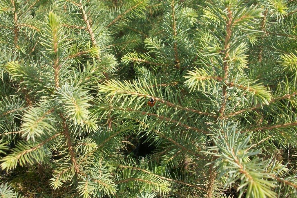 200 Stück Picea omorika - (Serbische Fichte)- Wurzelware 30-60 cm 4 jährig