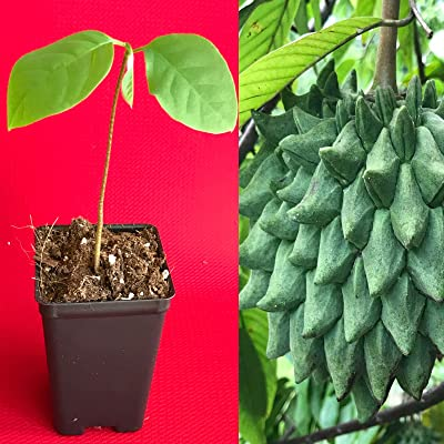 HIGH Germination Seeds:Rollinia Deliciosa Biriba Potted Plant Tree : Garden & Outdoor