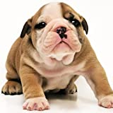Guess The Puppy Breed 3 - Trivia Game FREE