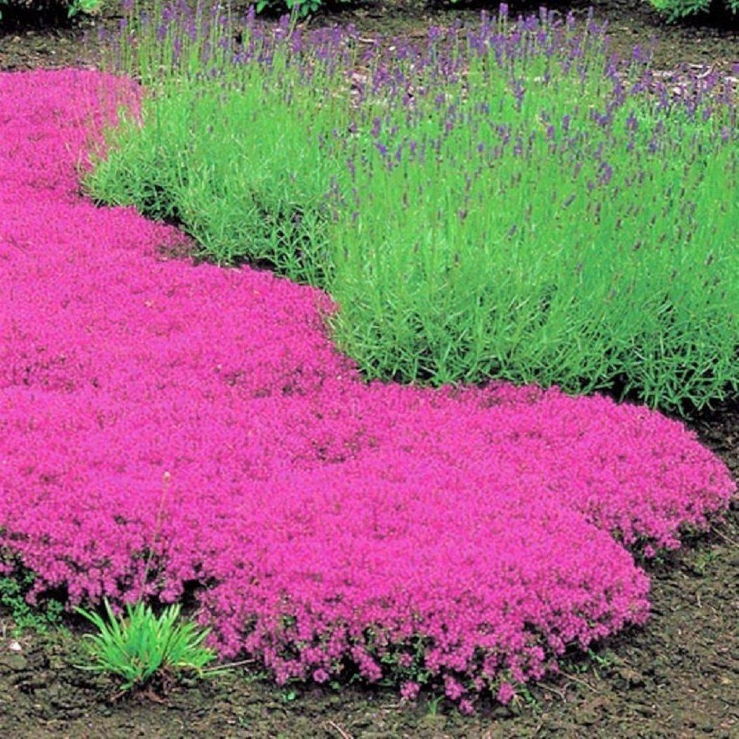 Bodendecker winterhart Thymian-Kollektion rot und weiß 6 Pflanzen